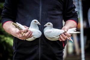 Die Silberne Taubenpracht